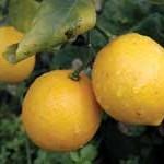 HS-lemons
